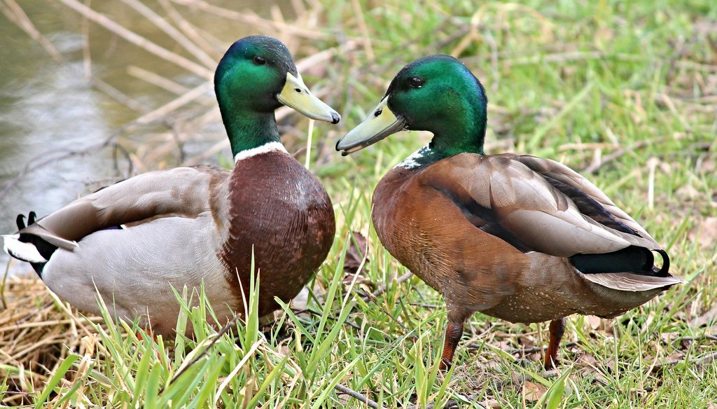 A duck's quack does echo, despite a claim making the rounds on Facebook. It's just a little hard to hear.
