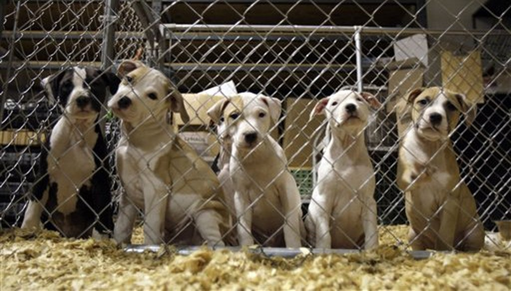 Pit bull puppies are seen at an emergency shelter that housed hundreds of dogs seized in St. Louis as part of the largest dogfighting raid in U.S. history in 2009. (AP)
