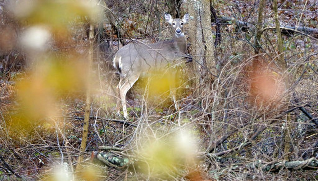A deer peers through the woods from near a tree on Nov. 26, 2018. (AP/Keith Srakocic)