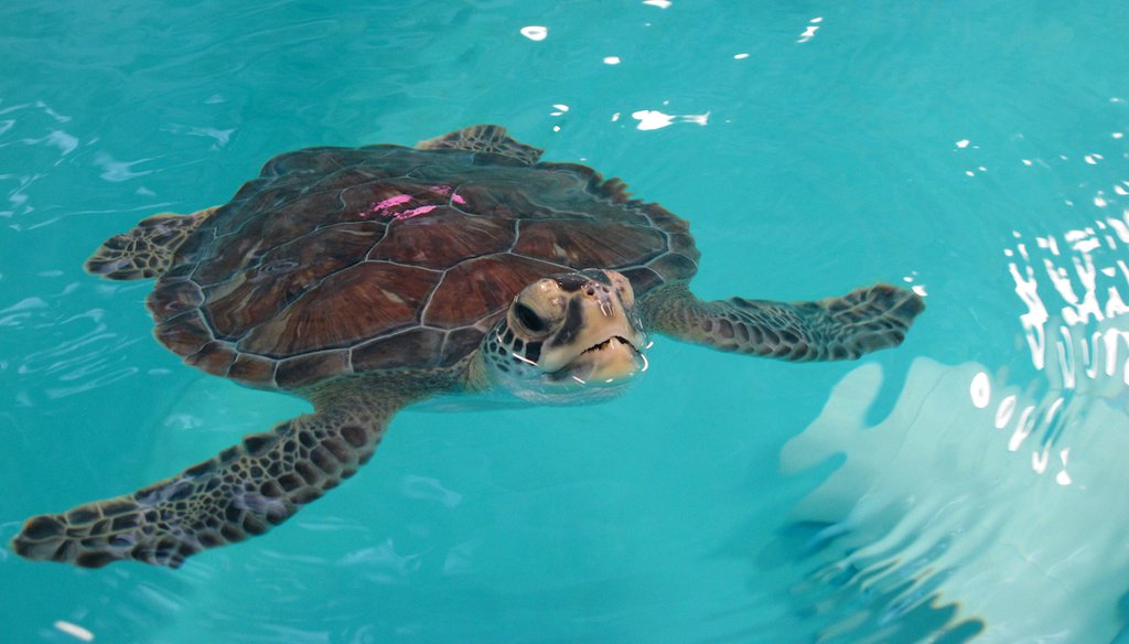 A sea turtle swims in a tank at the Sea Turtle Recovery hospital inside the Turtle Back Zoo in West Orange, N.J., Feb. 27, 2020. (AP)