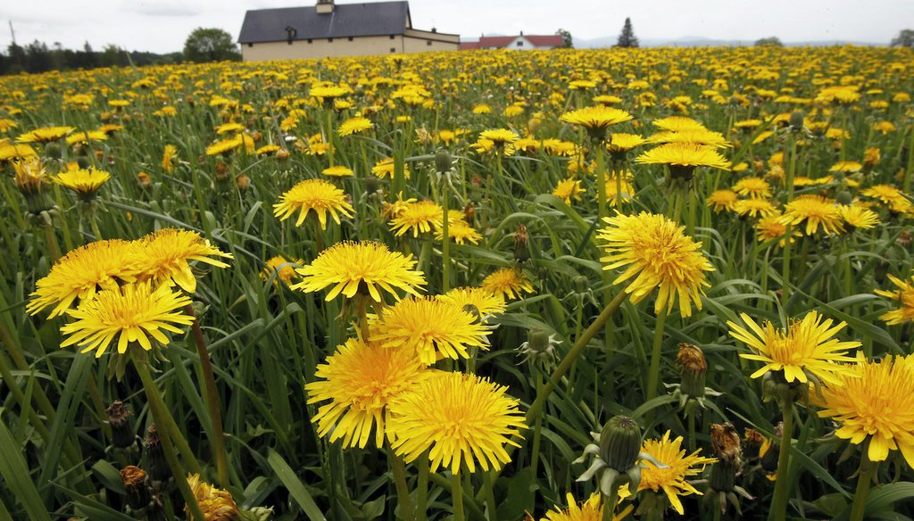 A field of dandelions bloom in a pasture. May 23, 2013 (AP)