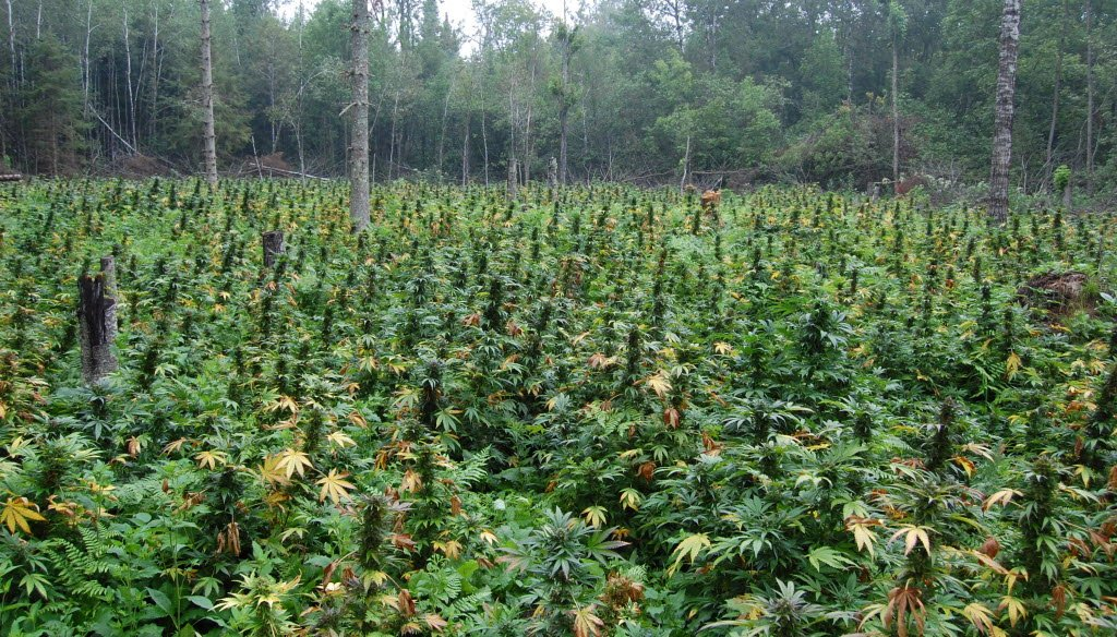 A field in Oconto County in Wisconsin is filled with marijuana plants discovered in 2010 in the Chequamegon-Nicolet National Forest. (Wisconsin Department of Justice)
