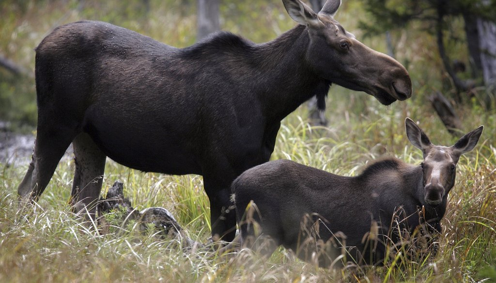 In this Saturday, Aug. 21, 2010 file photo, moose are seen in Franconia, N.H.