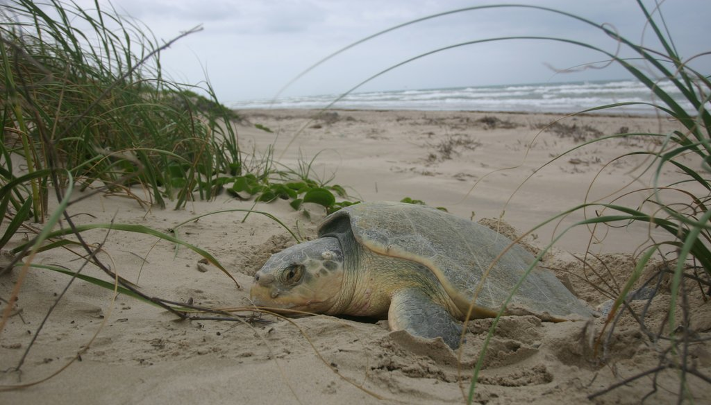 All species of sea turtles in Texas waters are either endangered or threatened, according to the Texas Parks and Wildlife Department. National Park Service photo