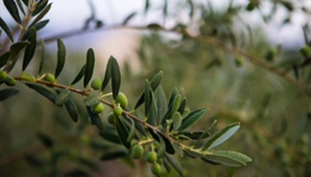 An olive tree, which provides a staple of many diets around the world. (Courtesy of Richard Williams)