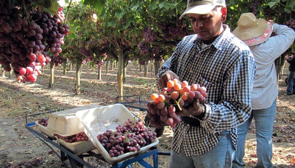 Benjamin Reynosa, a legal U.S. resident, picks grapes near Fowler, Calif. AP file photo.
