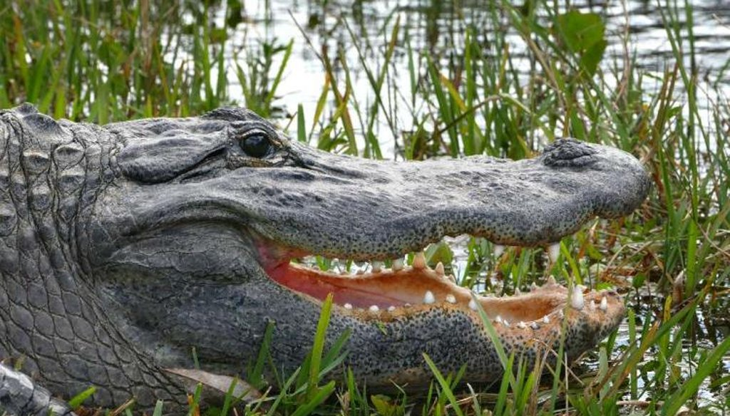 An American alligator shows off it's teeth as it basks in the sun along the Shark Valley tram road in Everglades National Park. (Scott Keeler/Tampa Bay Times)