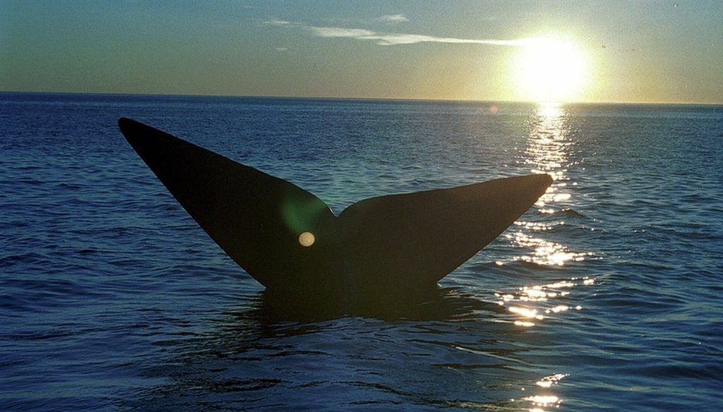 The tail of a southern right whale emerges from the waters of the Atlantic Ocean near Puerto Piramide, some 1,000 miles south of Buenos Aires, Sunday, June 10, 2001. (AP Photo/Jose Luis Pasten)