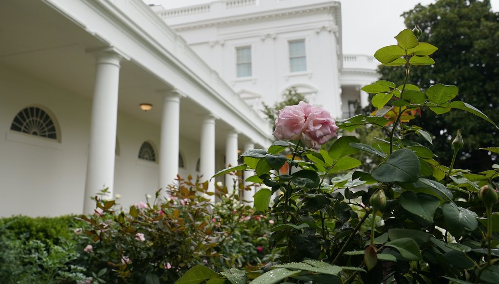A rose is seen as journalists tour the restored Rose Garden at the White House in Washington, Saturday, Aug. 22, 2020. (AP)
