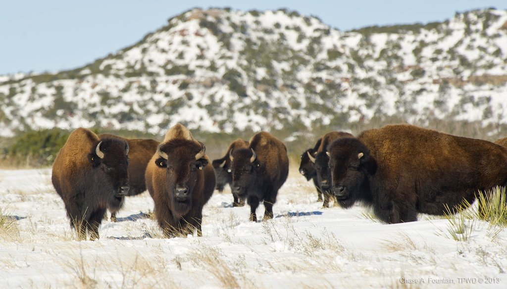 Bison, including these at Caprock Canyons State Park, have 'a matriarchal society,' said park superintendent Donald Beard. (Chase A. Fountain photo/Texas Parks and Wildlife Department)