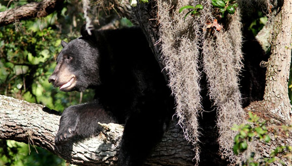 The number of Florida black bears has rebounded in recent years, leading to an increase in contact with humans. (Tampa Bay Times file photo)