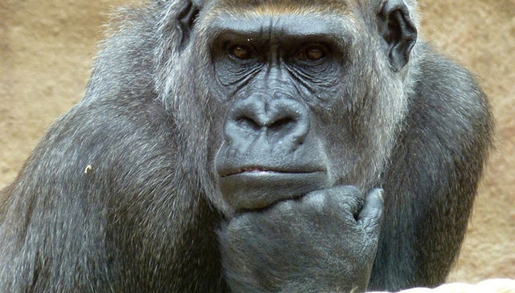 A hoaxster tweeted that White House staff created a gorilla channel for President Donald Trump. (Traveltipy via Flickr Creative Commons)