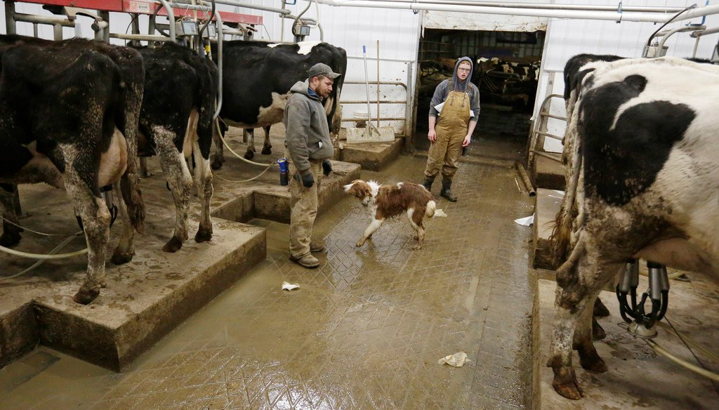 Michael Dodd and hired hand Derek Scott milk 60 head of cows in a new milking parlor near Pickett, Wis., Wednesday November 14, 2018. (Joe Sienkiewicz/USA Today NETWORK-Wisconsin)