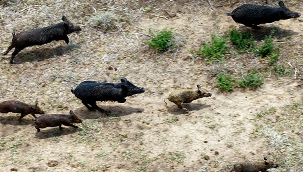Feral hogs run through a farm in Atascosa County, Thursday, June 23, 2011. Joseph Meyers, of Flying J Services, is hired by farmers to eliminate the feral hog population and hunts them from his helicopter (Photo: Jerry Lara, San Antonio Express-News).