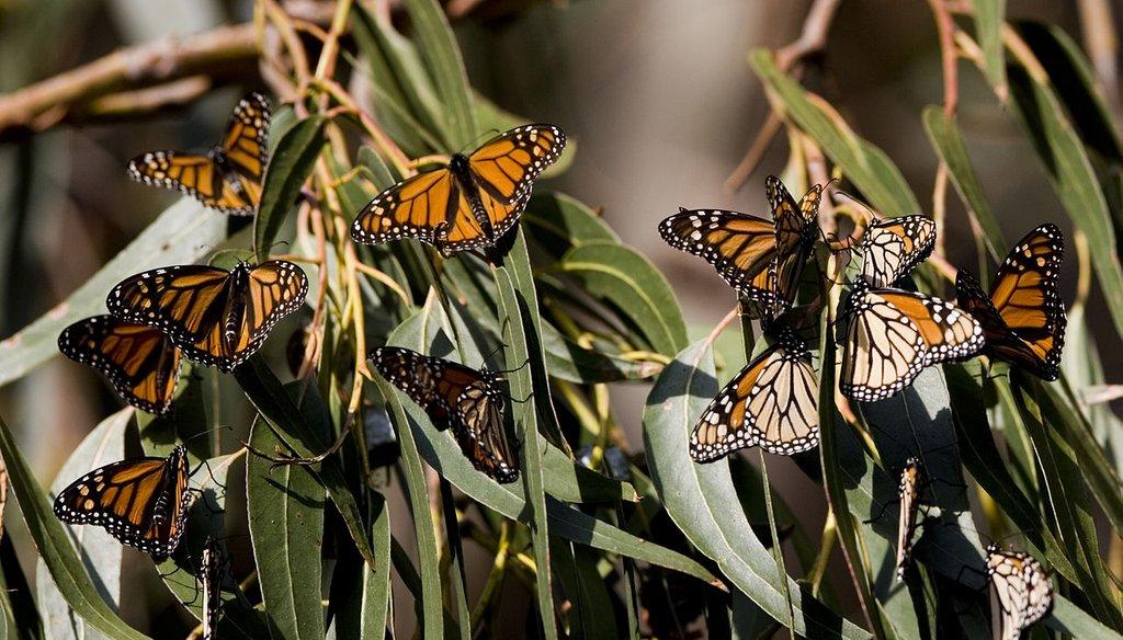 Monarch butterflies gather in Santa Cruz, Calif. Source: Wikimedia Commons