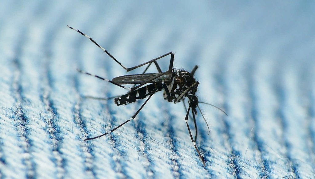 The Asian Tiger mosquito can transmit the Zika virus. (Flickr via creative commons)