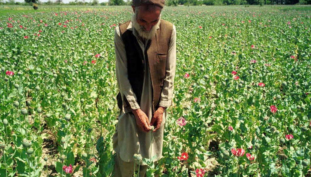 Afghan farmer in his poppy field in eastern Afghanistan. (AP)