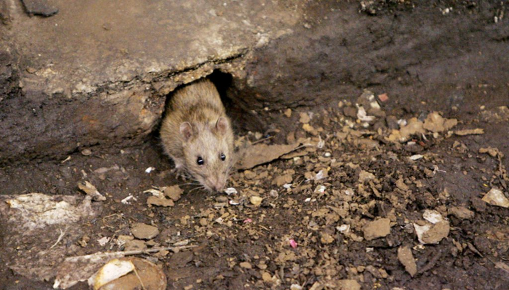 A rat comes briefly out of its hole at a subway stop in the Brooklyn borough of New York, before retreating at the arrival of the F train.