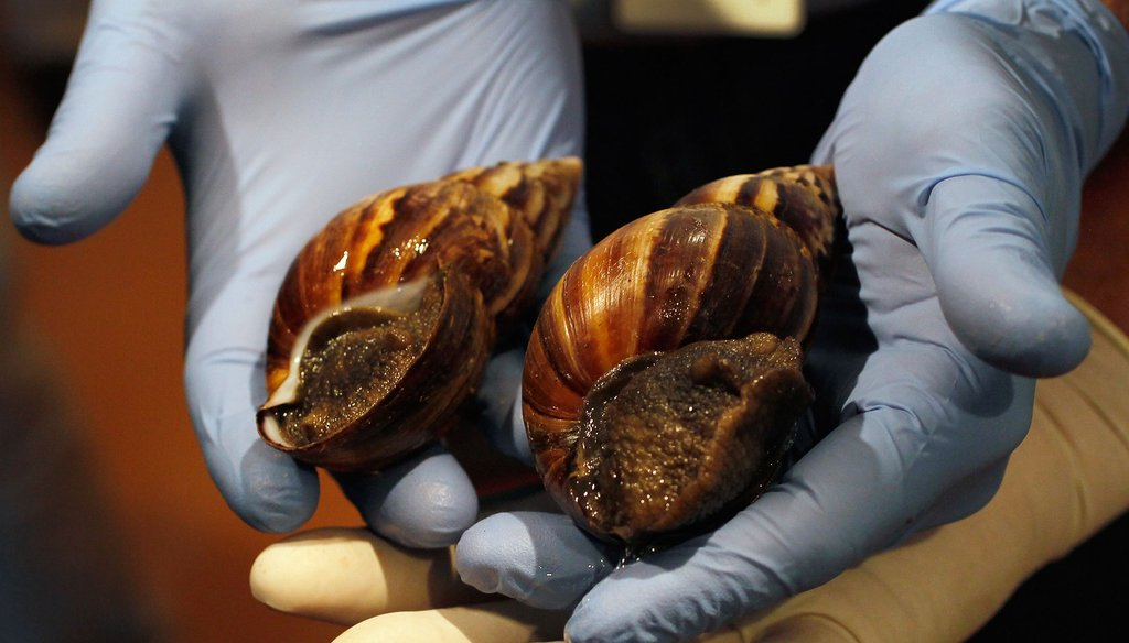 Officials rounded up giant African land snails in Miami-Dade County in September 2011. (Getty Images)