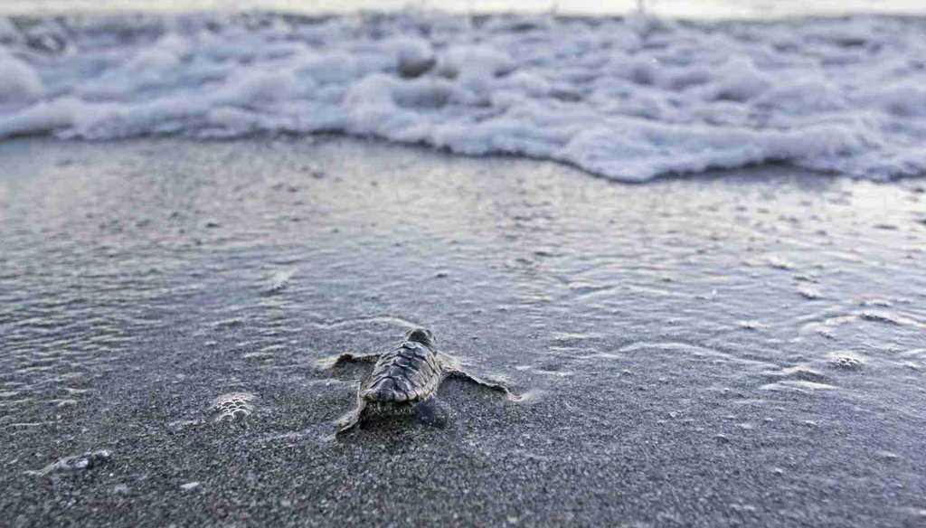 A recently hatched loggerhead turtle heads for the sea on Redington Beach. (photo by Jim Damaske, Tampa Bay Times)