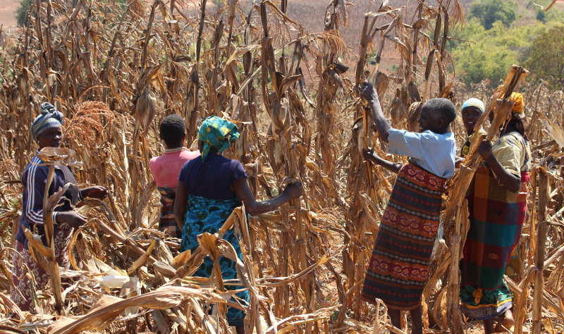 A group of women help harvest maize in Lupembelwasenga, Tanzania. (Tara Clerkin/Clinton Foundation)
