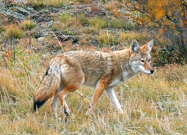 House committee chairman claims state agency delivered coyotes to