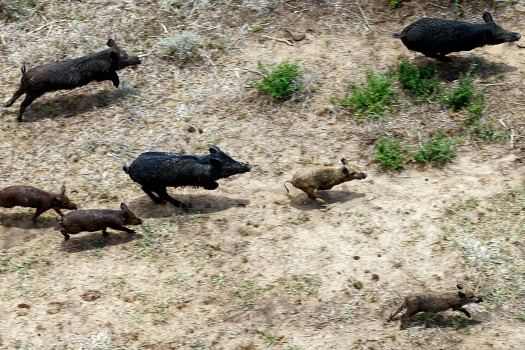 Texas Ranks No 1 In Feral Hogs It S Not Home To 75 Percent Of