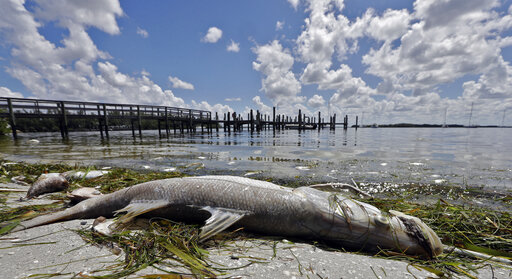 In this Aug. 6, 2018, file photo, a dead Snook lies dead due to red tide in Bradenton Beach, Fla. Florida is creating a public-private partnership to research how to control and alleviate red tide blooms. (AP)